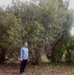Olea europaea subsp. cuspidata (African Olive) at Mount Majura - 16 Apr 2016 by waltraud