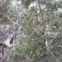 Olea europaea subsp. cuspidata (African Olive) at Mount Majura - 19 Apr 2016 by waltraud