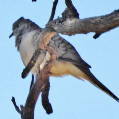 Geopelia placida (Peaceful Dove) at Namadgi National Park - 19 Apr 2016 by JohnBundock