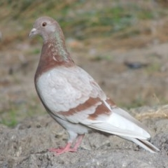 Columba livia (Rock Dove) at Isabella Pond - 10 Apr 2016 by michaelb