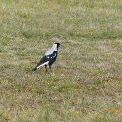 Gymnorhina tibicen (Australian Magpie) at Jerrabomberra Wetlands - 29 Jul 2015 by ChrisDavey