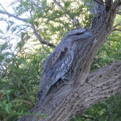 Podargus strigoides (Tawny Frogmouth) at Hawker, ACT - 22 May 2012 by Philip
