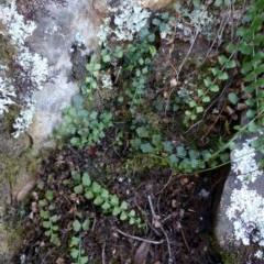 Asplenium flabellifolium (Necklace fern) at Black Mountain - 2 May 2016 by RWPurdie