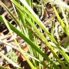 Lomandra longifolia (Spiny-headed Mat-rush, Honey Reed) at Cotter River, ACT - 4 May 2016 by RyuCallaway