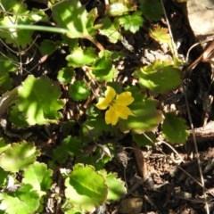 Goodenia hederacea subsp. alpestris at Namadgi National Park - 4 May 2016 by RyuCallaway
