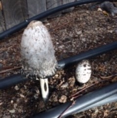 Coprinus comatus (Shaggy Ink Cap) at Jerrabomberra, NSW - 9 May 2016 by wombey