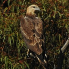 Haliaeetus leucogaster (White-bellied Sea-Eagle) at Tidbinbilla Nature Reserve - 6 May 2016 by JohnBundock