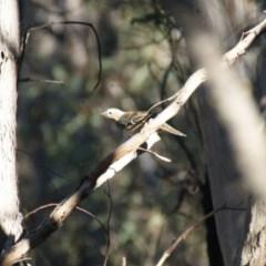 Cinclosoma punctatum (Spotted Quail-thrush) at Googong Foreshore - 14 May 2016 by roymcd