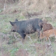 Sus scrofa (Feral Pig) at Point Hut to Tharwa - 6 Jun 2015 by michaelb