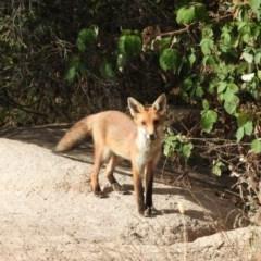 Vulpes vulpes (Red Fox) at Gilmore, ACT - 13 Jan 2016 by RyuCallaway