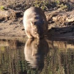 Vombatus ursinus (Wombat) at Gigerline Nature Reserve - 6 Aug 2014 by michaelb