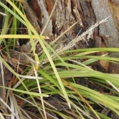 Lomandra longifolia (Spiny-headed Mat-rush, Honey Reed) at Fadden, ACT - 28 May 2016 by RyuCallaway