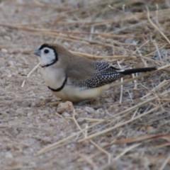 Taeniopygia bichenovii (Double-barred Finch) at Stromlo, ACT - 28 May 2016 by roymcd