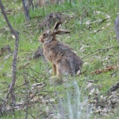 Lepus capensis (Brown Hare) at Red Hill Nature Reserve - 18 Sep 2015 by roymcd