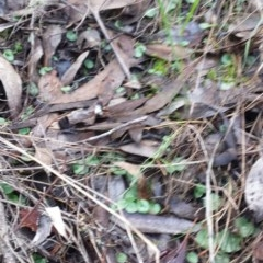 Corysanthes sp. (A helmet orchid) at Mount Jerrabomberra - 30 May 2016 by MattM