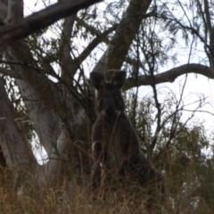 Macropus robustus (Wallaroo) at Black Mountain - 22 Apr 2016 by MattM