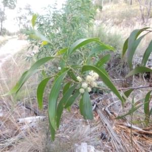 Acacia implexa at Tralee, ACT - 17 Feb 2016