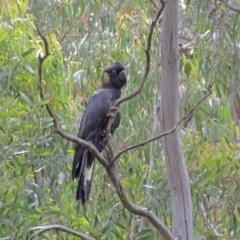 Zanda funereus (Yellow-tailed Black-Cockatoo) at Namadgi National Park - 9 Dec 2014 by Philip