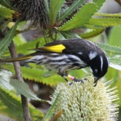 Phylidonyris novaehollandiae (New Holland Honeyeater) at ANBG - 2 Jun 2016 by roymcd