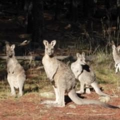Macropus giganteus (Eastern Grey Kangaroo) at Isaacs Ridge and Nearby - 6 Jun 2016 by Mike