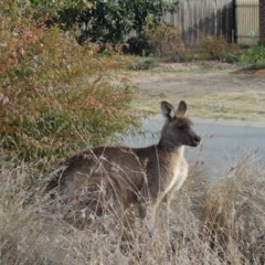 Macropus giganteus (Eastern Grey Kangaroo) at Conder, ACT - 2 Jun 2016 by michaelb