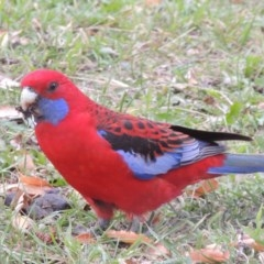 Platycercus elegans (Crimson Rosella) at Conder, ACT - 28 May 2016 by michaelb