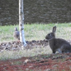 Oryctolagus cuniculus (European Rabbit) at Commonwealth & Kings Parks - 10 Jun 2016 by RyuCallaway