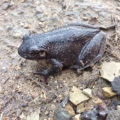 Litoria peronii (Peron's Tree-frog) at Gilmore, ACT - 12 Jun 2016 by JoshMulvaney
