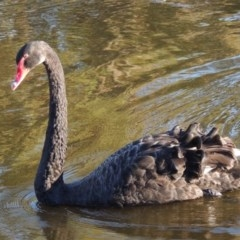 Cygnus atratus (Black Swan) at Isobella Pond - 11 Apr 2016 by michaelb