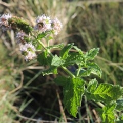 Mentha spicata (Garden Mint) at Isobella Pond - 11 Apr 2016 by michaelb