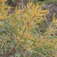 Acacia boormanii (Snowy River Wattle) at Farrer Ridge - 18 Jun 2016 by Mike
