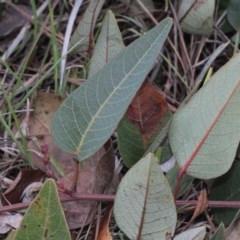 Hardenbergia violacea (False Sarsaparilla) at Bruce Ridge - 5 Jun 2016 by PeteWoodall
