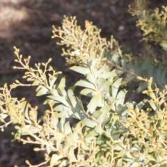 Acacia cultriformis (Knife Leaf Wattle) at Bruce Ridge - 5 Jun 2016 by PeteWoodall