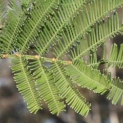 Acacia decurrens (Green Wattle) at Bruce Ridge - 5 Jun 2016 by PeteWoodall