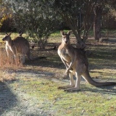 Macropus giganteus (Eastern Grey Kangaroo) at Conder, ACT - 2 Jun 2015 by michaelb
