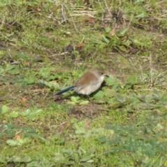Malurus cyaneus (Superb Fairywren) at Isaacs Ridge and Nearby - 24 Jun 2016 by Mike