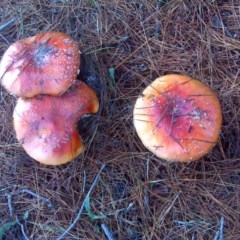 Amanita muscaria (Fly agaric) at Isaacs Ridge and Nearby - 24 Jun 2016 by Mike