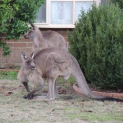 Macropus giganteus (Eastern Grey Kangaroo) at Conder, ACT - 20 Jun 2016 by michaelb
