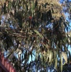 Callocephalon fimbriatum (Gang-gang Cockatoo) at Queanbeyan, NSW - 29 Jun 2016 by MolongloCatchmentGroup