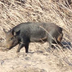 Sus scrofa (Feral Pig) at Point Hut to Tharwa - 29 Jun 2016 by michaelb