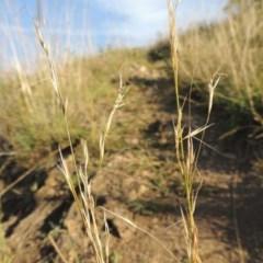 Austrostipa bigeniculata (Kneed Speargrass) at Blue Gum Point to Attunga Bay - 9 Mar 2016 by michaelb