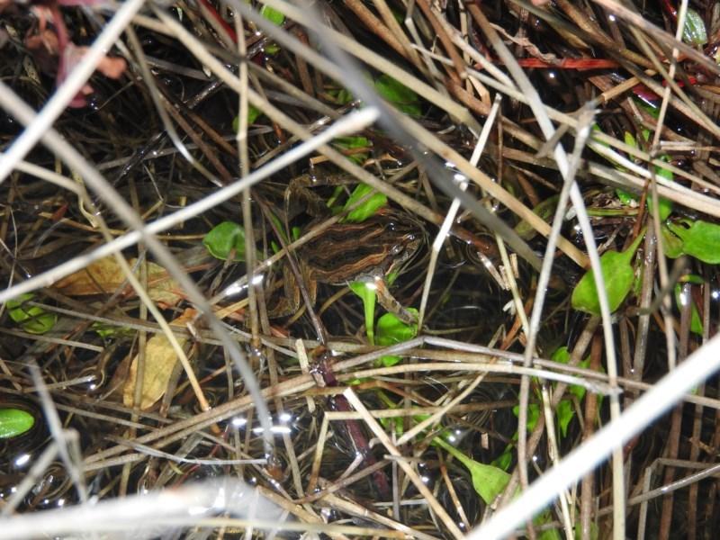 Crinia signifera at Wanniassa Hill - 25 Jun 2016