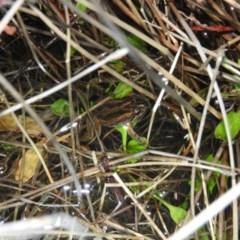 Crinia signifera (Common Eastern Froglet) at Wanniassa Hill - 25 Jun 2016 by RyuCallaway
