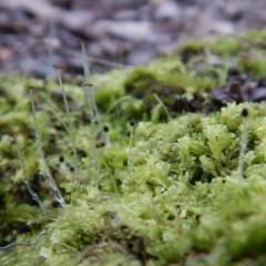 Chiloscyphus sp. (A leafy liverwort) at Aranda Bushland - 4 Jul 2016 by CathB