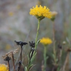 Rutidosis leptorhynchoides (Button wrinklewort) at Attunga Point - 9 Mar 2016 by michaelb