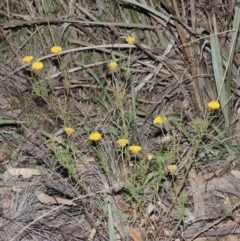 Rutidosis leptorhynchoides (Button wrinklewort) at Stirling Park - 9 Mar 2016 by michaelb