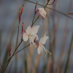 Oenothera lindheimeri (Clockweed) at Point Hut Pond - 27 Mar 2016 by michaelb