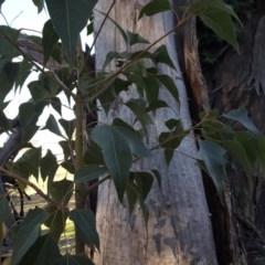 Brachychiton populneus subsp. populneus (Kurrajong) at Mount Mugga Mugga - 16 Jul 2016 by Mike
