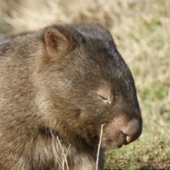 Vombatus ursinus (Common Wombat, Bare-nosed Wombat) at Burra, NSW - 16 Jul 2016 by roymcd