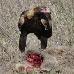 Aquila audax (Wedge-tailed Eagle) at Royalla, NSW - 28 Jul 2016 by JohnBundock